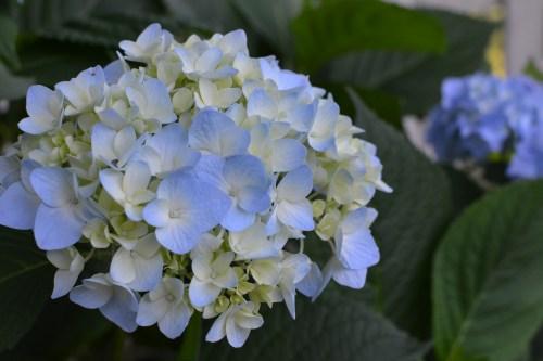 Medium Of Blushing Bride Hydrangea