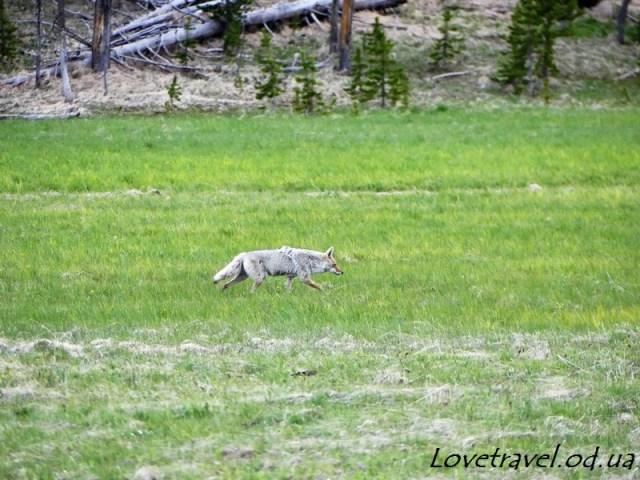 animals-in-yellowstone-8
