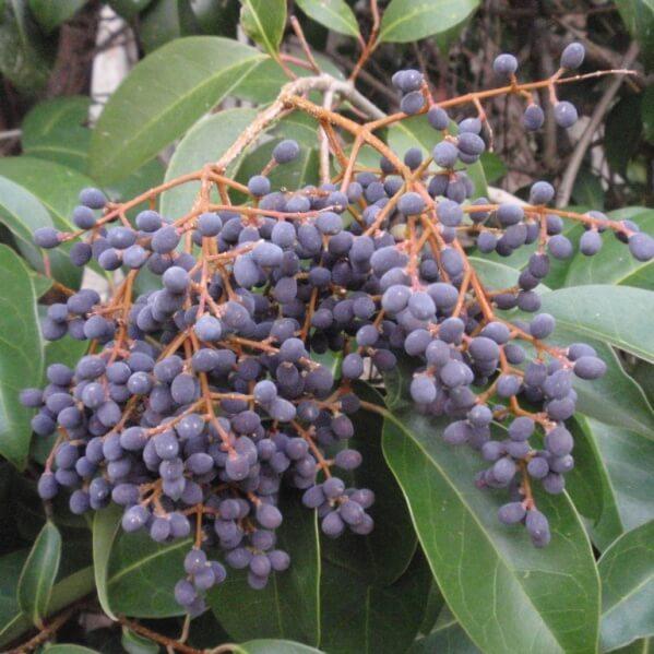 плоды бирючины на фото