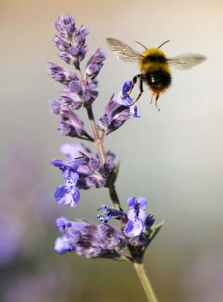 Domestic Animals Wallpaper Buff Tailed Bumble Bee Bombus Terrestris In Flight At