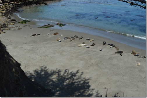 Point Lobos Whalers Cove harbor seals-1