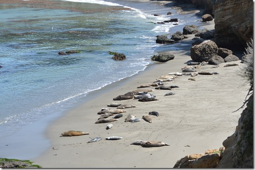 Point Lobos seals-2
