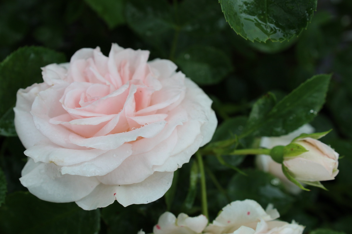 Moderne Beete Rose Aspirin Rose® - Bodendeckerrose In Weiss-rosé: Lubera.de
