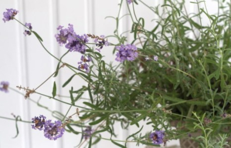 All Things Lavender