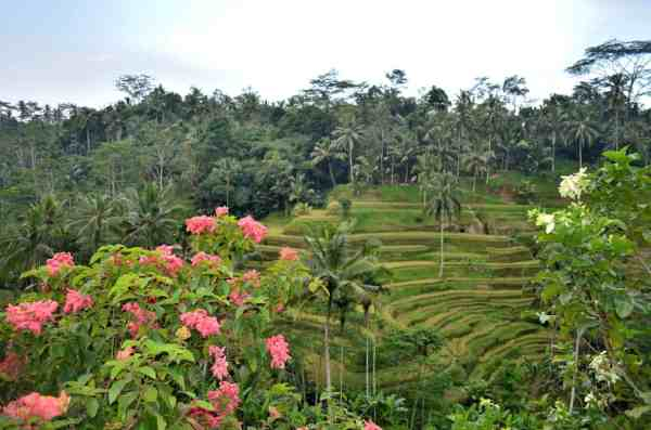Rice fields, one of 12 things to do in Bali.