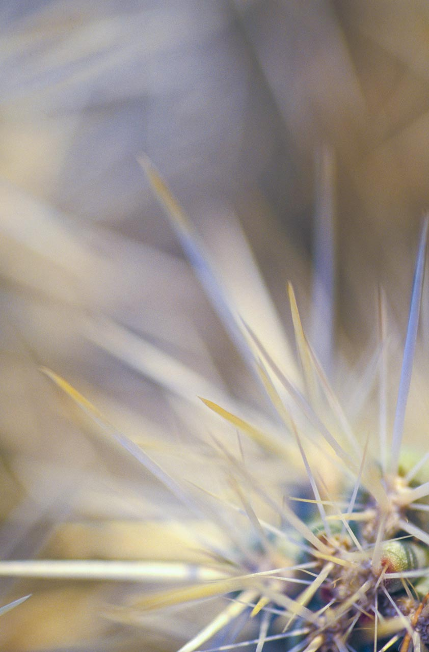 Hairy-Cholla-web