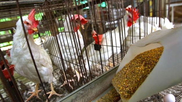 Fourth Largest U.S. Poultry Producer to Pay for Animal Rights Improvements