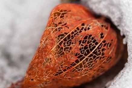 Lyhtykoiso (Physalis alkekengi)