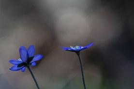 Sinivuokko - Hepatica nobilis. Vaskivuori, Vantaa.