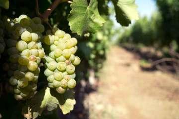 Sauvignon blanc er ikke specielt udbredt i Chile, men Tabalís marker ligger tæt på Stillehavet, og oppe i Andesbjergenes højder stortrives druen.