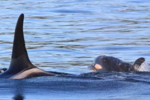 Orca Calf Plays With Mom In Sooke