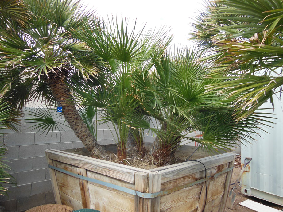 Sago Palm For Sale 047: 6ft Mediterranean Palm « Affordable Tree Service, Las
