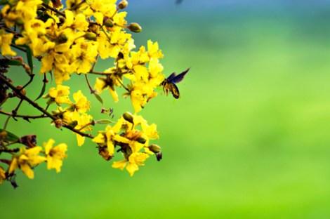 [Góc Nhiếp Ảnh] Mùa hoa điệp trải vàng lối đi