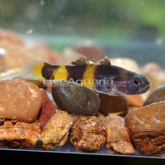 Tropical Aquarium Fish for Brackish Aquariums Bumble Bee Goby