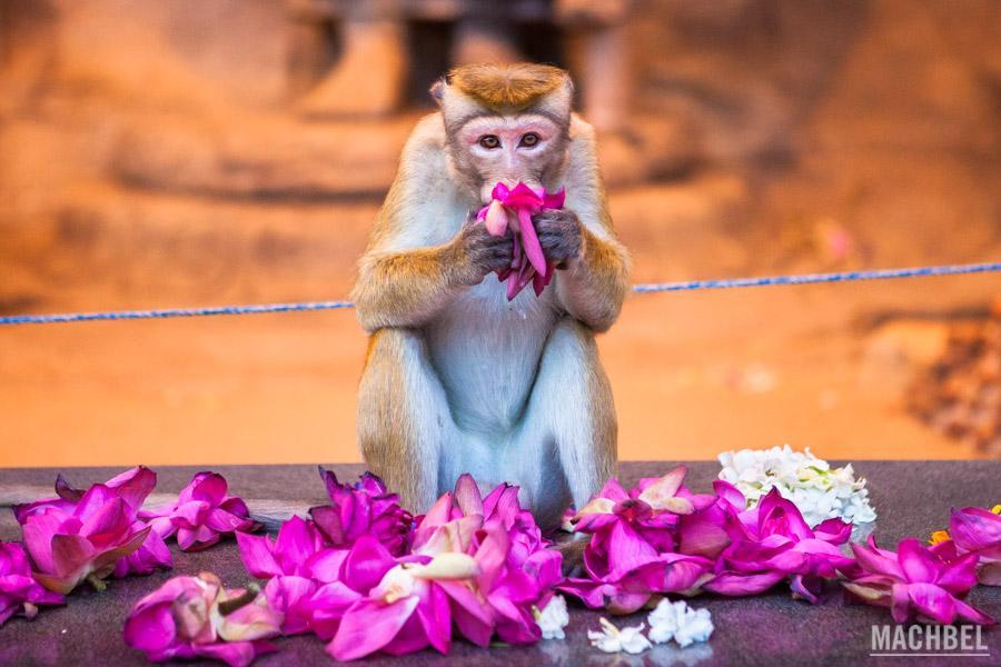 Mono oliendo flores