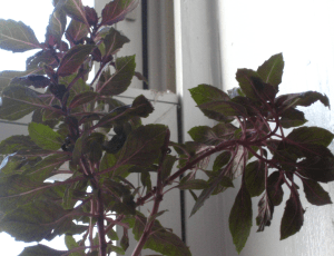 My purple basil plant which is not especially purple.