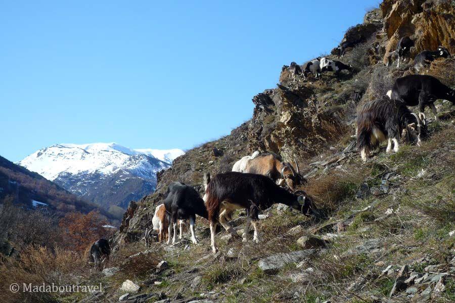 Rebaño de cabras en el pirineo