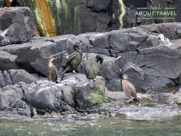 Cormoranes en la Isla de May en Escocia