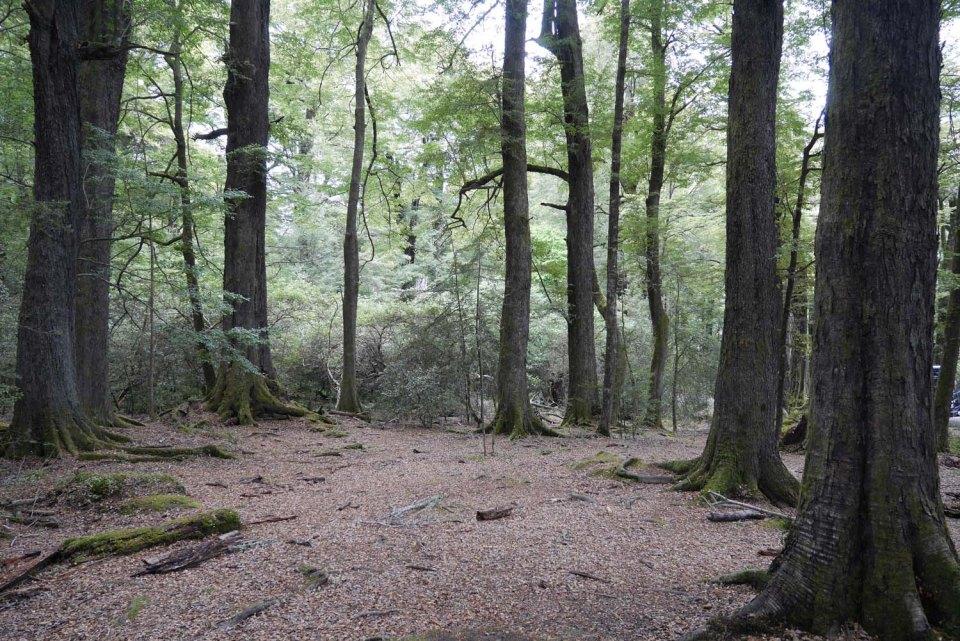 Bosque en Paradise Nueva Zelanda donde se rodó Lothlorien y la Muerte de Boromir en El Señor de los anillos