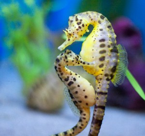 these dads actually give birth seahorse