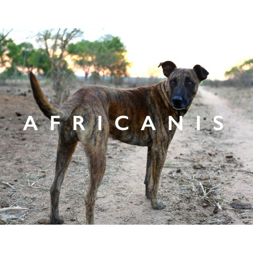 Medium Crop Of African Dog Breeds