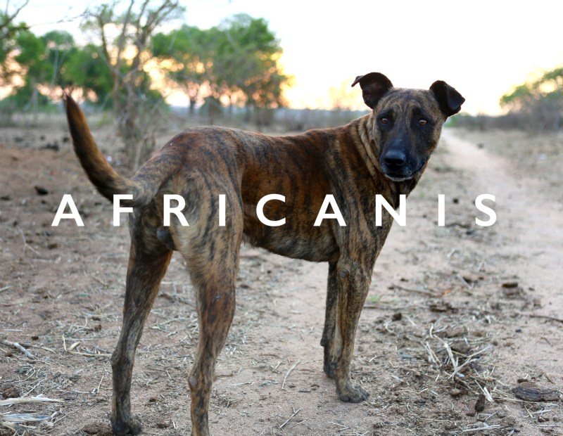 Large Of African Dog Breeds