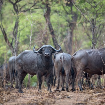 Cape buffalo are a common sight in Niassa © Will Burrard-Lucas