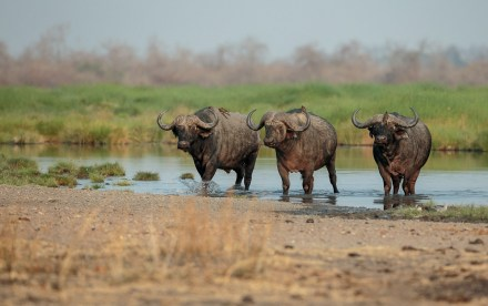 Three buffalo in South Luangwa