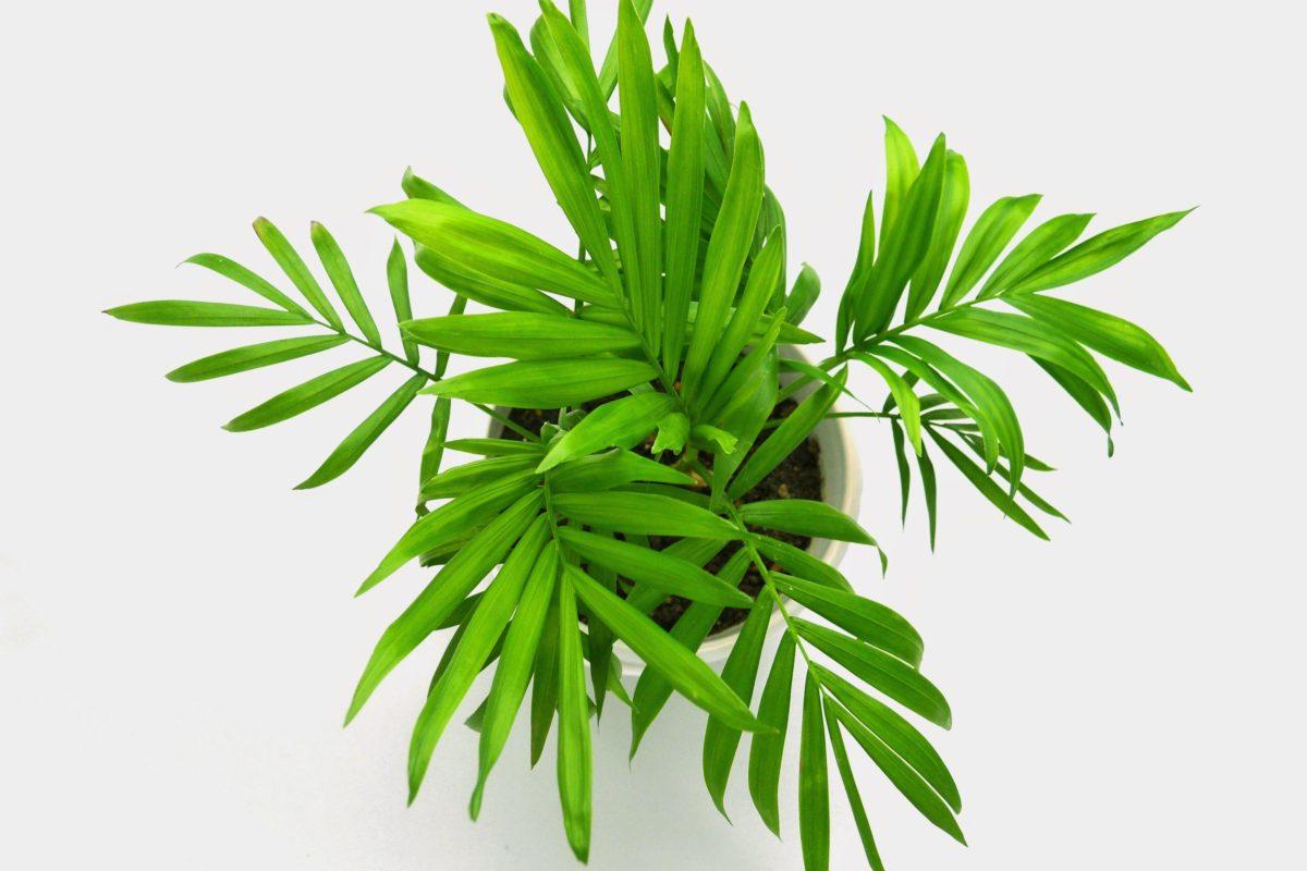 arrosage d'un palmier d'intérieur   peut on tailler un yucca devenu