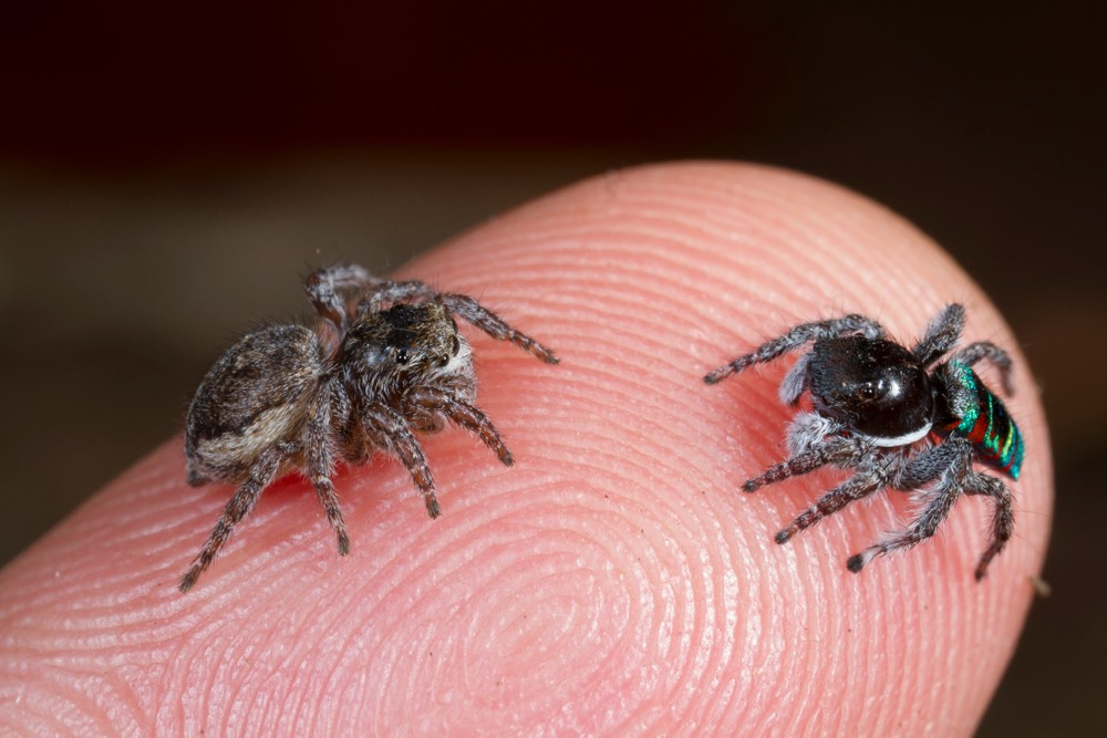 Cute Jumping Spider Wallpaper Tiny Dancers University Of Cincinnati