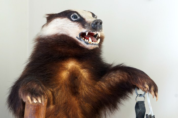 taxidermy-badger-man-cave-masculine-decor