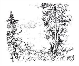 Conifers 0313ab