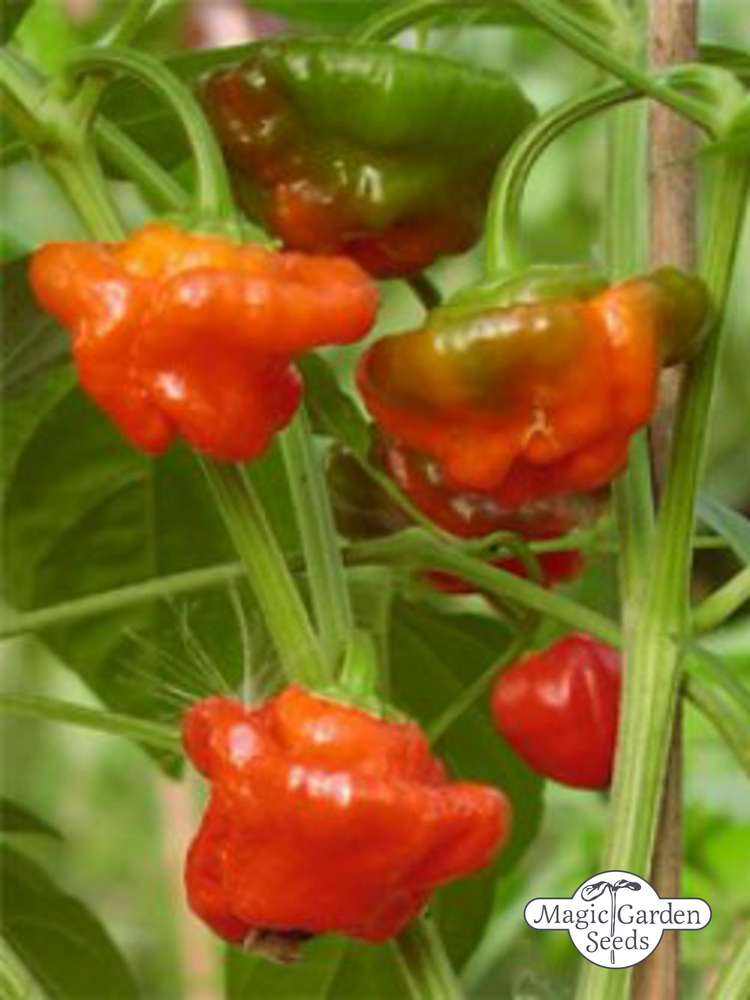 Kapuzinerkresse Aussaat Chili 'mini Bonnet' (capsicum Annuum) | Chili | Scharfe