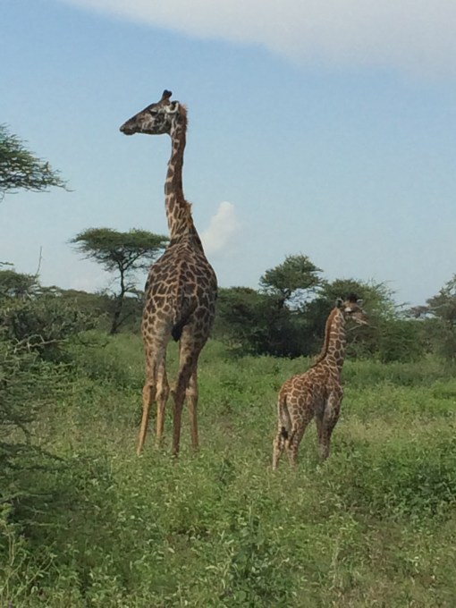 giraffes