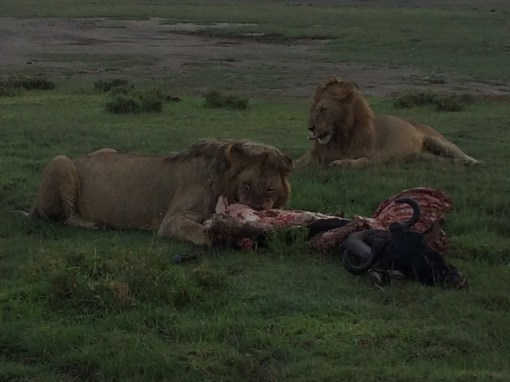 lions eating