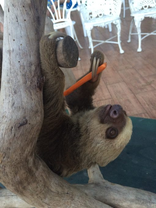 Two toed sloth enjoying a carrot during his presentation at The Gamboa Rainforest Resort in Panama