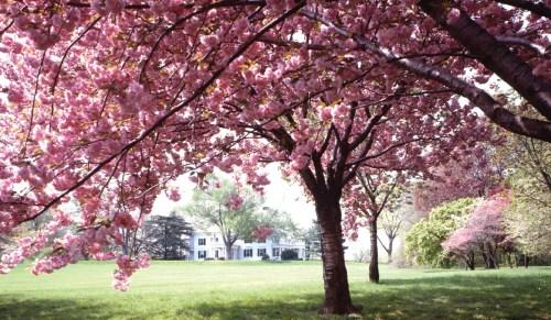 Medium Of Ornamental Cherry Tree