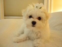 Small Of Teddy Bear Dog Breed
