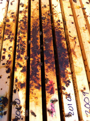 Hive Lost to Nosema (photo: D. Israel)