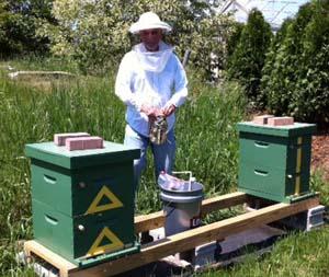 Lawrence Furbish enjoying his new apiary, back in Maine.