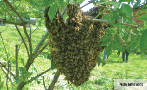 Warm of Bees - Photo by David Wood