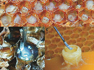 Queen Grafting - image from coloss.org