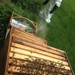 June 2015 – The Beekeepers Calendar