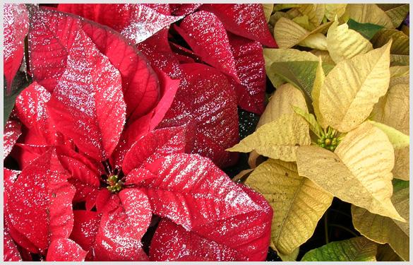 Poinsettias Brilliant History Colorful Plant Maine