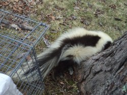 Small Of How To Get Rid Of Skunks