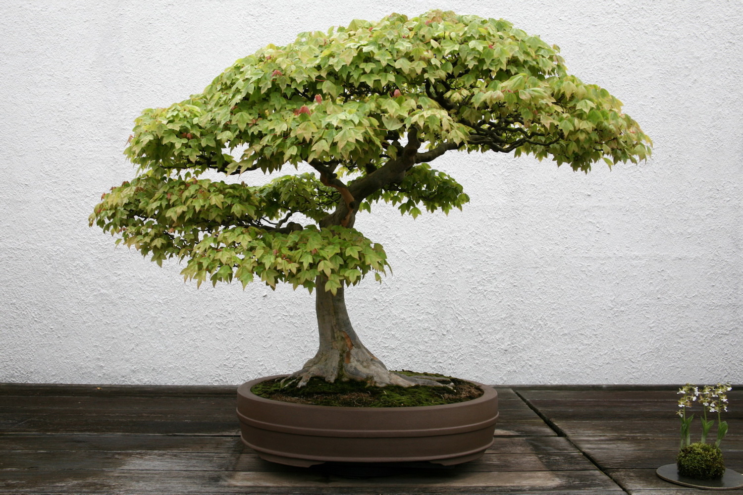 Bonsai D Interieur Especes Photos De Bonsai Galerie D Images De Bonsai Maitre Bonsai