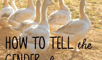 how to tell the gender of your goose… or gander