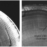Cross sections of elephant (left) and mammoth tusks (right) with outer Schreger lines marked, showing characteristic angle difference.