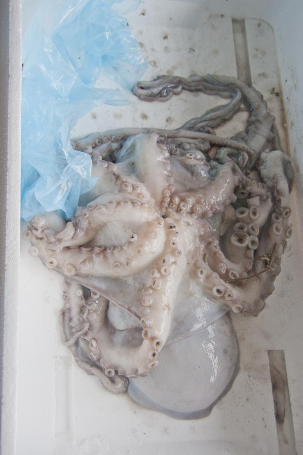 2 octopuses in a styrofoam box