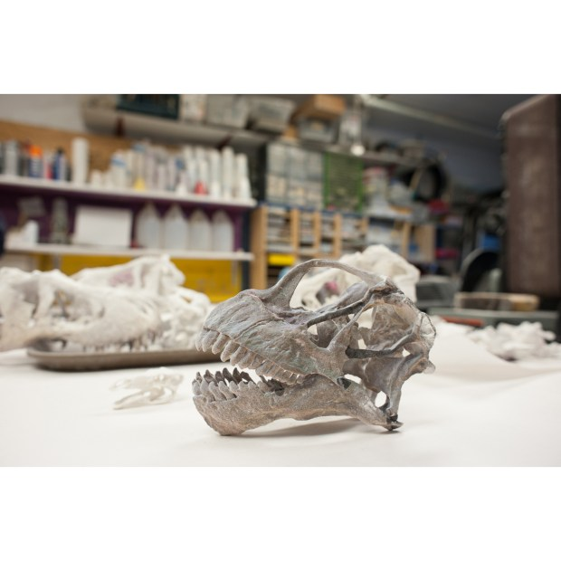 Camarasaurus skull at 1/6 scale. This depowdered 3D print will be extremely fragile until infiltration--that is, a bath in cyanoacrylate to penetrate the gypsum powder and harden it. Once finished, the prints are sold by the Black Hills Institute at the Bone Room and other specialty showrooms.